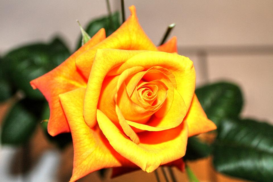 rose-253418_960_720
